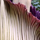 世界最大の花「ショクダイオオコンニャク」とは?